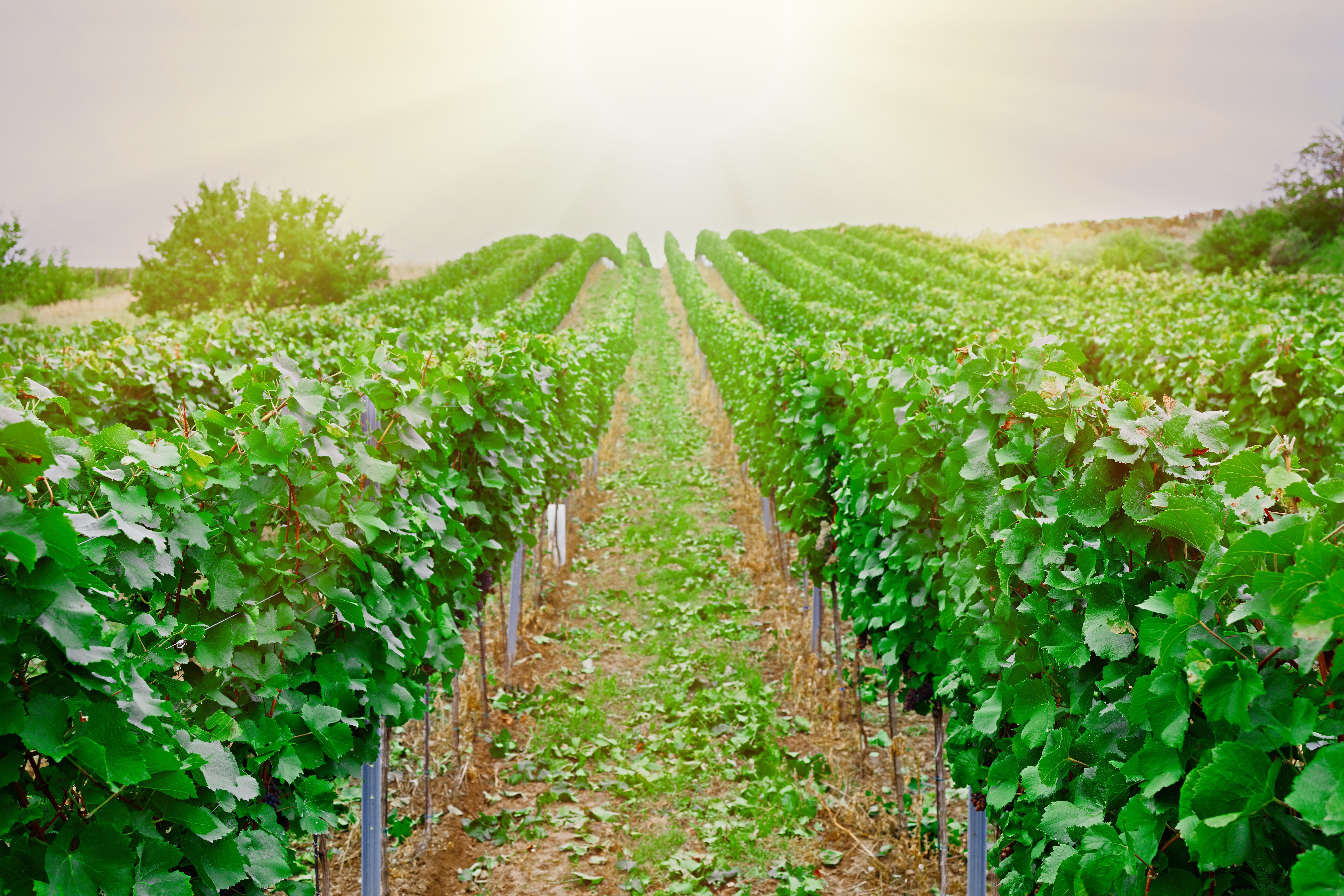 vineyard with ripe grapes in countryside